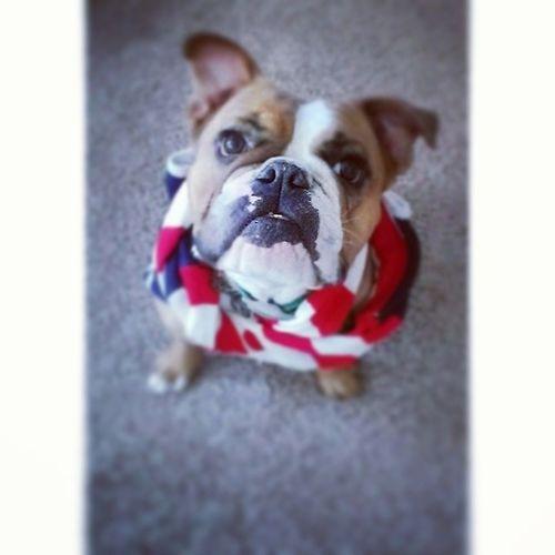 Happy 4th of July from the Lantz family. Ham Oldenglishbulldog Bulldog Bulldogs america freedom redwhiteandblue 3legs animal happydog puppy mypup happy love festive slc animallover