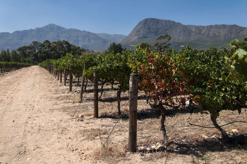 Franschhoek Capetown South Africa Wineyard Winemaking Nature Nature Photography Landscape Mountain Agriculture Grapes Traveling EyeEm Best Shots EyeEm Gallery EyeEm Best Edits EyeEmBestPics EyeEmbestshots Travel EyeEm Best Shots - Nature Beauty In Nature Scenic Landscapes EyeEm Nature Lover