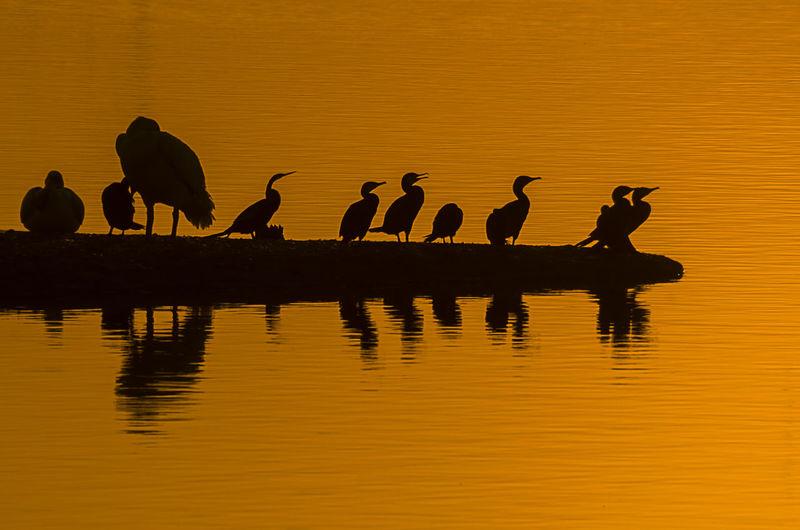 Silhouette birds on lake against orange sky