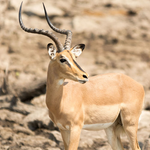 View of black-faced impala