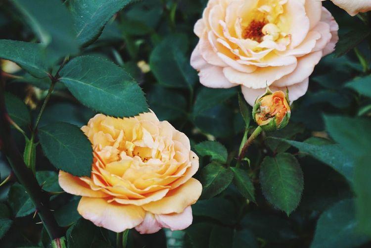 rose Roses,