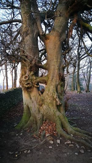 Natures Majestic Beauty Double Trunked Siamese Tree Funky Connections A Twist Of Fate Double Capacity Twice The Value Complete Connection Twin Roots Living Pair Duplication Two Canopies Arnside Knott