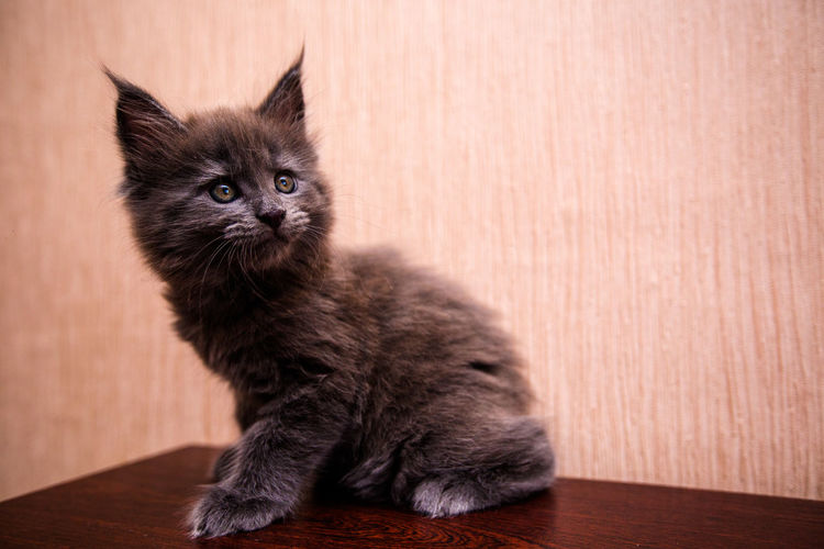 Kitten sitting on floor against wall