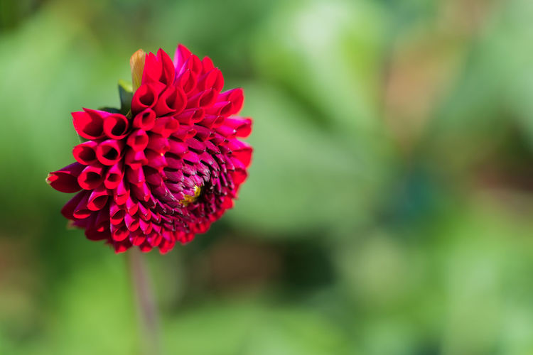 Flowering Plant Fragility Flower Vulnerability  Beauty In Nature Freshness Plant Petal Close-up Growth Red Focus On Foreground Flower Head Inflorescence Nature Day No People Green Color Outdoors Daria