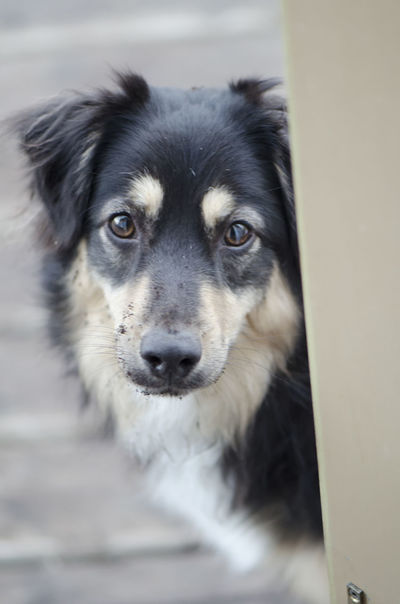 Animal Themes Australian Shepherd  Close-up Day Dog Domestic Animals EyEmNewHere Looking At Camera Mammal No People One Animal Outdoors Pets Portrait Troublemaker Pet Portraits
