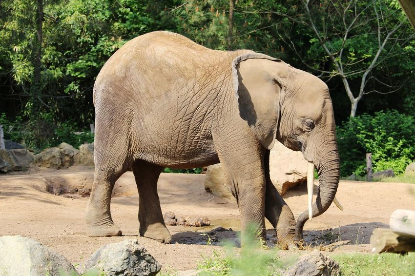 Zoo De La Flèche France 🇫🇷 EyeEm Selects African Elephant Elephant Safari Animals Young Animal Tree Sunlight Animal Themes Animals In Captivity
