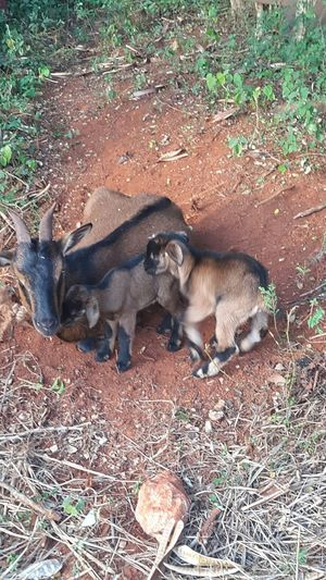 My Unique Style a mama goat with her 2 little kids