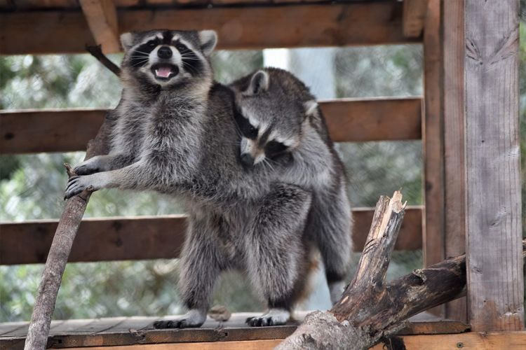 love bites !!!!!!!!! Adults Only Couple Having A Great Time Just For Fun Close-up Fooling Around Having A Good Time Pair Raccoons Wood - Material Yikes!