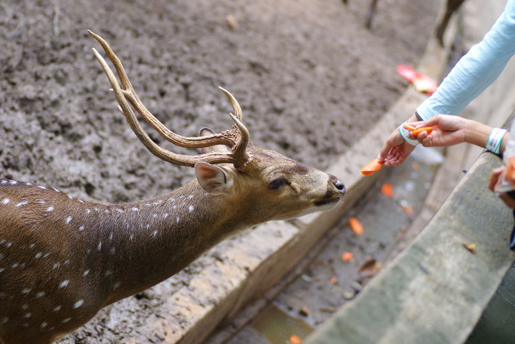 Cropped Image Of People Feeding Deer With Sliced Carrot At National Zoo Of Malaysia