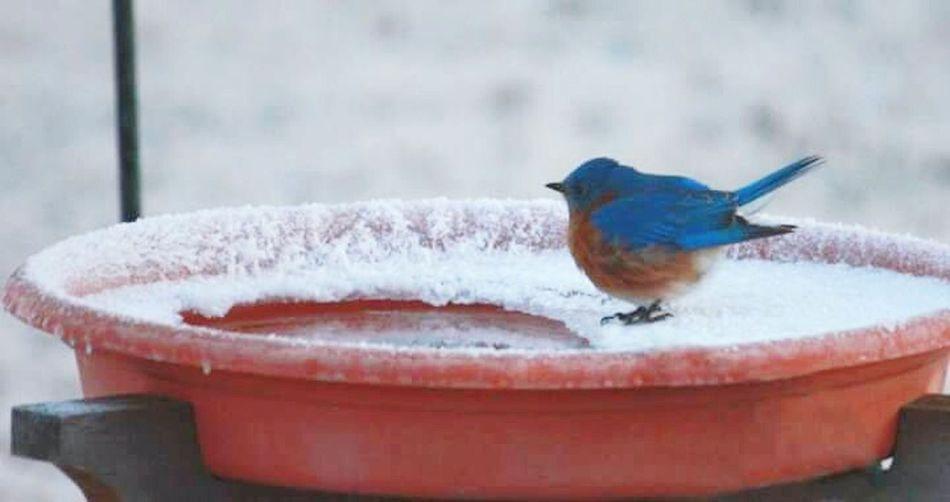 Birds Birdwatching Birdbath Nature Bluebird Bluebird In Winter Eastern Bluebird Kansas United States