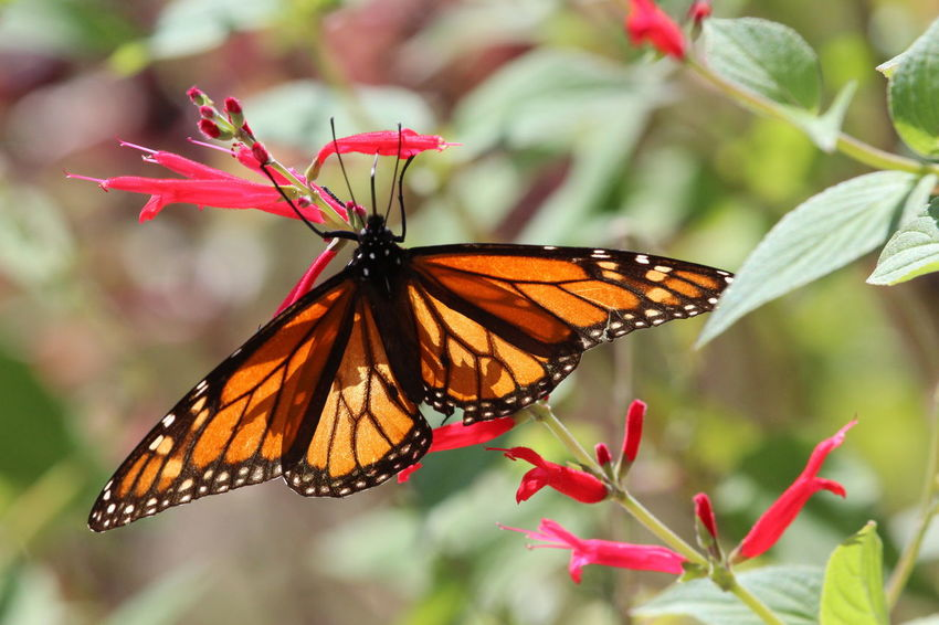 Butterfly, close-up, unedited, no post, Check This Out Hanging Out Hello World Taking Photos Relaxing Enjoying Life Bluffton Sc, Everyday Joy Flowers Butterfly ❤