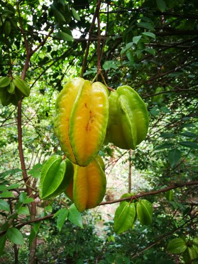 Fruit Fragility Growth No People Nature Tree Beauty In Nature Star Fruit  Green Color Day Freshness
