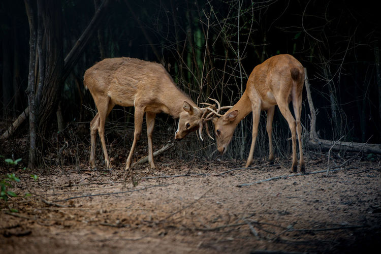 Deer fighting while standing on ground