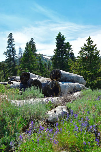 View in the Warner Mountains in Modoc County, California. Beauty In Nature Blue Clouds Day Evergreen Field Flowers Grass Gray Green Color Growth Landscape Log Pile Logs Nature No People Outdoors Pine Pine Tree Plant Purple Scenics Sky Sky And Clouds Tree