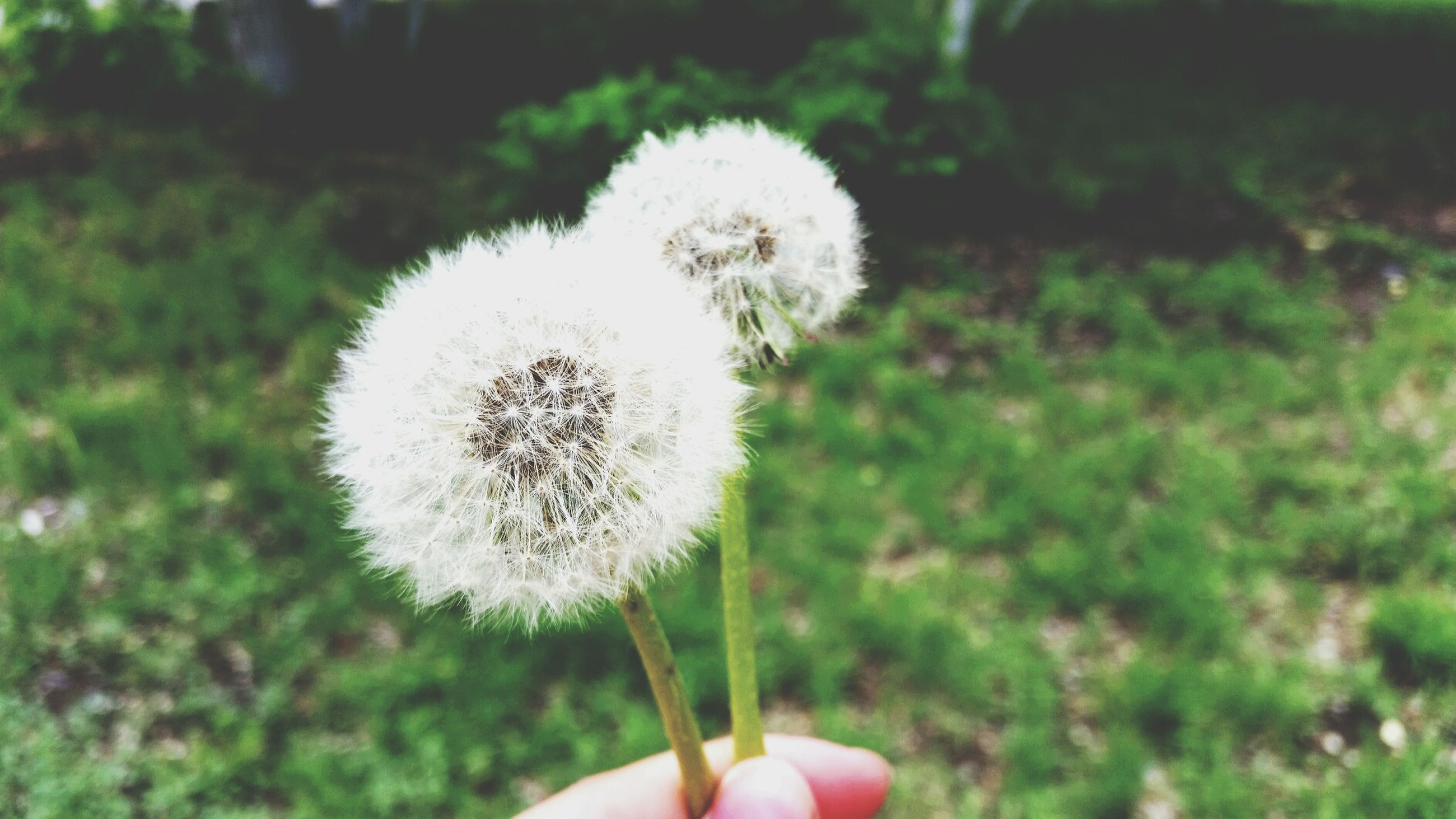 person, dandelion, flower, holding, fragility, part of, focus on foreground, flower head, freshness, cropped, unrecognizable person, white color, close-up, human finger, single flower, personal perspective, softness