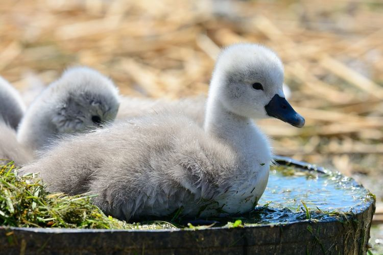 Close-Up Of Cygnets During Sunny Day