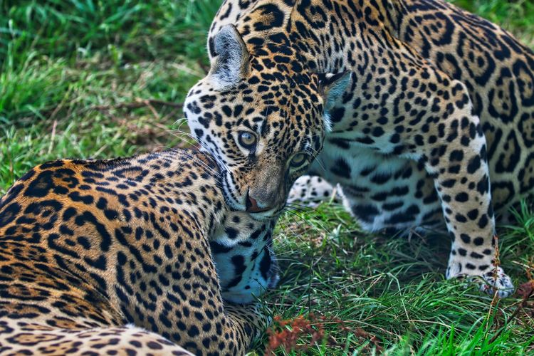 Close-Up Of Relaxed Leopards
