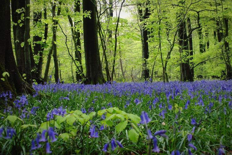 Witcombe wood. Bluebells Walk In The Woods