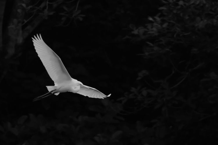 Black & White Animal Themes Animal Wildlife Animals In The Wild Bird Black And White Blackandwhite Blackandwhite Photography Close-up Day Flying Mid-air Nature No People One Animal Outdoors Spread Wings