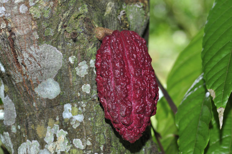 cacao fruits on tree Leaf Plant Part Plant Close-up Growth Nature Red No People Tree Day Textured  Tree Trunk Trunk Focus On Foreground Beauty In Nature Green Color Rock Outdoors Rough Freshness Bark Flower