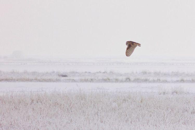 Owl flying over field against sky
