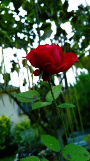 Red Nature Flower Beauty In Nature Green Color Freshness Outdoors Plant Rose🌹