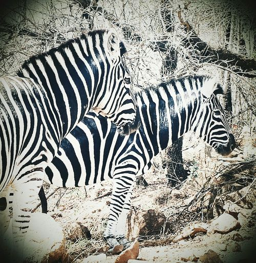 No People Close-up Nature Black And White Zebras Africa