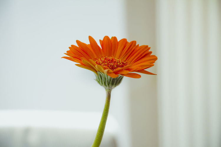 Vase Season  Flower Yellow Gerbera Beautiful Bloom Plant Daisy Isolated Orange Floral Flora Single Natural Color Design Garden Bouquet Red Growth Freshness Gerber Spring Green Summer White Stem Background Beauty Bright Pattern Gift Fresh Table Seasonal Closeup Colorful Decor White Background Transvaal Daisy Pollen Blossom Close Up Petal Water Gerbera Daisy Barberton Daisy