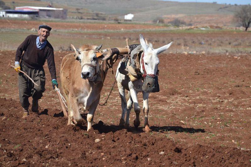 Farmer Walking With Domestic Animals On Field