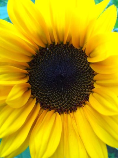 Sunflower Flower Fragility Petal Yellow Beauty In Nature Flower Head Freshness Nature Pollen Growth Sunflower Close-up Backgrounds Blooming Day Vibrant Color Plant No People Full Frame Outdoors Sunflower Sunflowers Sunflowers🌻 Yellow Flower