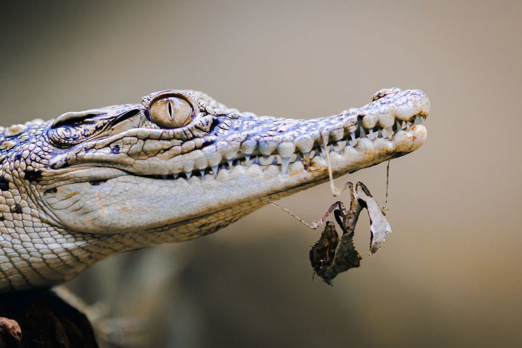 Close-up of mantis on crocodile