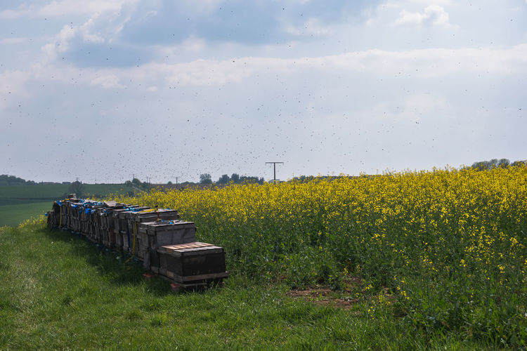 a lot of Bees