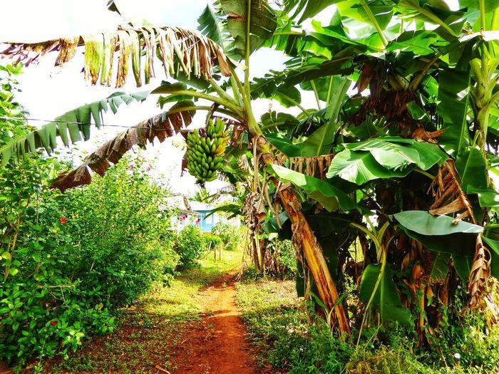 banana plant on a cuban farm Cuba Sun Tropical Caribbean Banana Banana Tree Banana Leaf Tropical Tropic Plants Tropic Fruits Tropical Tropical Plants Growth Nature Outdoors Day No People Plant Green Color Beauty In Nature Leaf Grass Tree