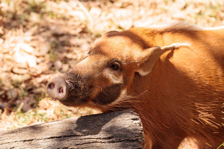 Close-up of wild boar at forest