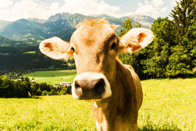 styrian cow looks at the camera Austria Kuh Alps Animal Animal Head  Animal Themes Cattle Cow Day Domestic Domestic Animals Field Grass Herbivorous Land Landscape Livestock Looking At Camera Mammal Nature No People One Animal Outdoors Plant Vertebrate