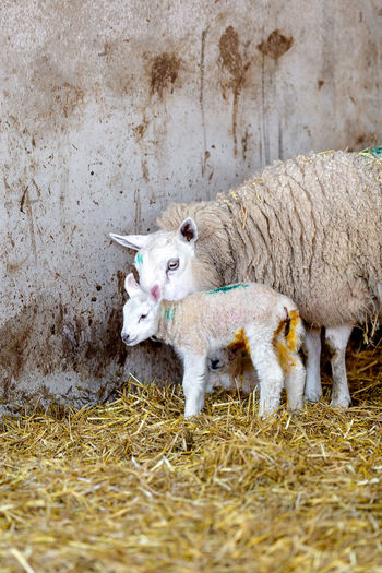 Lambs and ewes on straw in a barn Animal Themes Animal Mammal Livestock Sheep No People Outdoors Herbivorous Sheep🐑 Ewes Lambs Straw Lambing Season New Life In Spring Wool Farming Life
