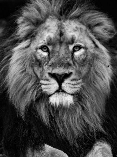 Asiatic Lion portrait Animal Themes Asiatic Lion Bigcat Black Background Blackandwhite Chester Zoo Close-up Day Fur Headshot Lion Lion - Feline Lion Mane Looking At Camera Mammal No People One Animal Portrait Whiskers EyeEmNewHere EyeEmNewHere