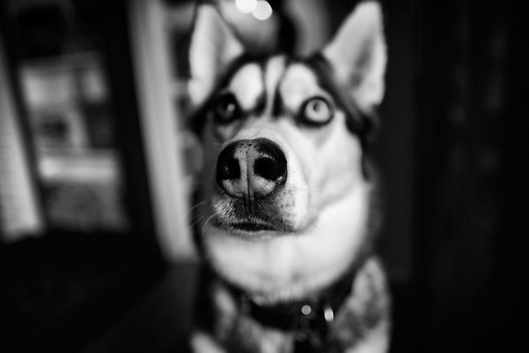 Big nose Canine Pets Dog Domestic Domestic Animals Portrait Indoors  Snout Husky Kungshamn Sweden EyeEm Pets Taking Photos Fujifilm X-H1 Silver The Husky Siberian Husky Dof Sverige EyeEm Best Shots Blackandwhite Bnw Dof_brilliance Hund Close-up Home Interior