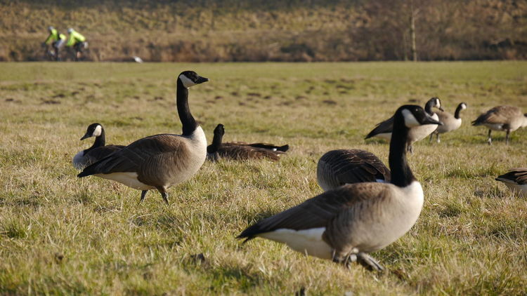 Geese on the field Animals In The Wild Grass Animal Themes Bird Animal Wildlife Nature Field Outdoors Beauty In Nature Focus On Foreground Eyem Gallery EyeEm Gallery Geese Natural Background Animals Selective Focus Bike Riding Canadian Geese Branta Canadensis