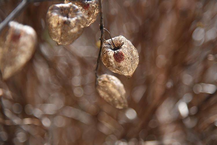 Close-up of winter cherry hanging on plants