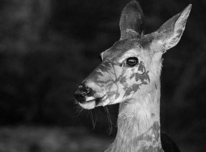 Deer at