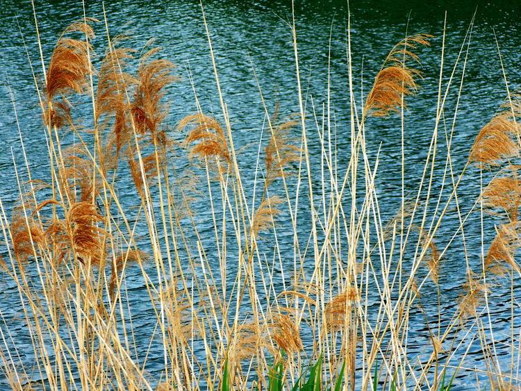 Plants Brown Plants Brown Reed Reed Reeds Water Background Water Reed Water Reeds