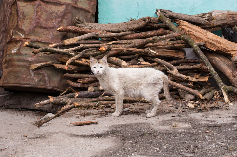 Tibet Cat, Chinese Cat. Alone Animal Themes Cat Cat Lovers Cat Photography Cats Chinese Cute Day Domestic Animals Fire India Livestock Mammal No People Outdoors Sikkim Stray Animal Stray Cat Tibet Wood Wood - Material Wooden