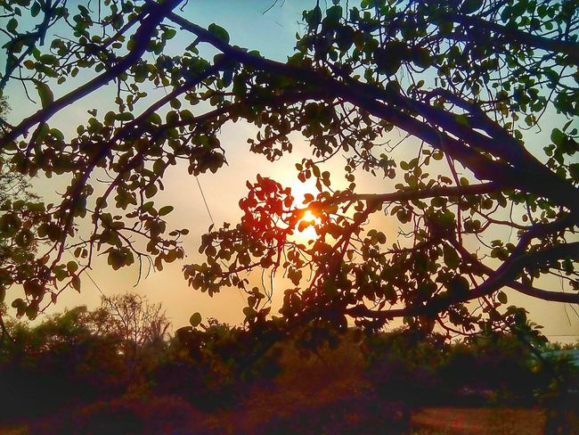 Tree Nature Outdoors Sky Low Angle View No People Beauty In Nature Day Silhouette Leaf Branch Sunset Growth