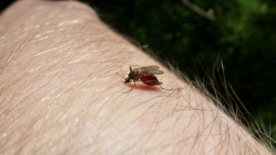 ...after! Animal Themes Beauty In Nature Blood Close-up Insect Macro Mosquito Mosquito Full Of Blood Mosquito With Full Belly