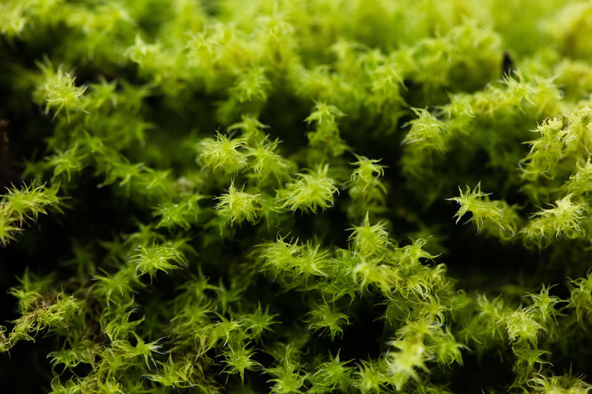 A close up of delicate green moss, almost tentacle like in the way each strand grows, giving a spiky feel to something very soft. ASIA Green Spiky Backgrounds Beauty In Nature Botany Close-up Detail Flower Foliage Fragility Freshness Full Frame Green Color Growth Intricacy Moss Nature No People Outdoors Plant