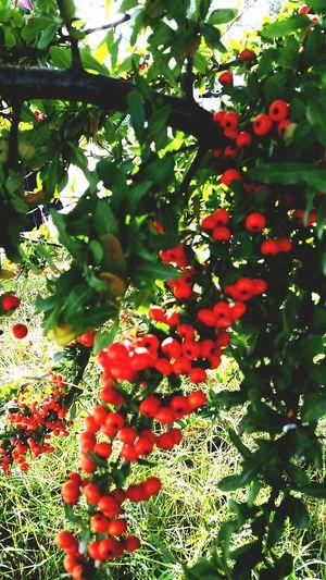 First Eyeem Photo Garden Red Rosehip Kuşburnu Autumn🍁🍁🍁 Autumn Dogaharikasi End Of Summer Pastel Sonbahar Yeşillik EyeEm Best Shots Greentrees Nature Photography EyeEm Nature Lover EyeEm