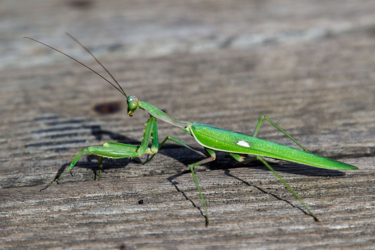 Close-Up Of Praying Mantis On Wooden Table
