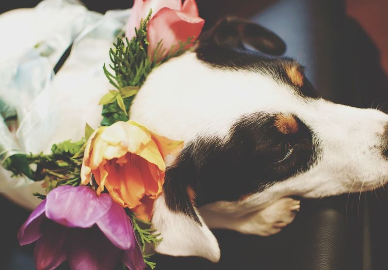 Cute Jack Russell Puppy wearing flower crown garland Flower Domestic Animals Pets No People Indoors  Close-up Dog One Animal Animal Themes Mammal Nature Day Flower Head Beauty In Nature Freshness Wedding Dogs Flower Crown Flower Garland Garland Crown Tulips Dog Love Love Canine