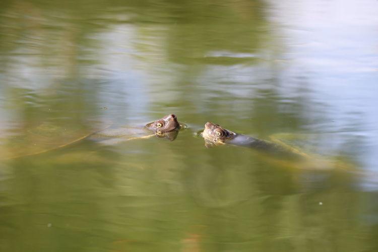 Turtles Swimming Turtles EyeEm Selects Water Reptile Swimming Underwater Floating In Water Sea Life